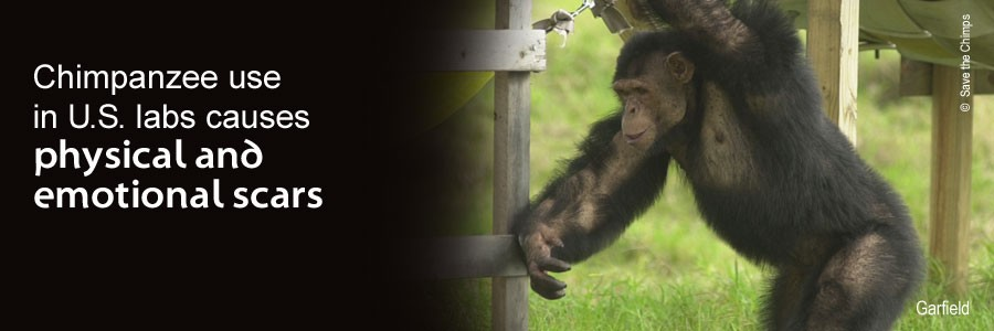 For decades chimpanzees have suffered and died in U.S. laboratories – unnecessarily.