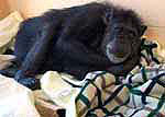Dana Chimpanzee with blankets