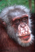 Tom Chimpanzee face closeup