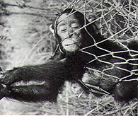 Chimpanzee captured in net