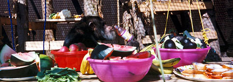 Yoko Chimpanzee having a feast at Fauna
