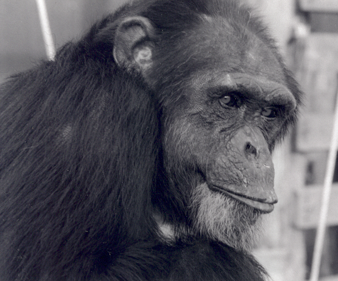 Chimpanzee pictures chimpanzees are all black but - Billy Jo