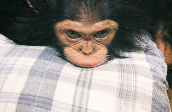 Angie Chimpanzee with chin resting on pillow