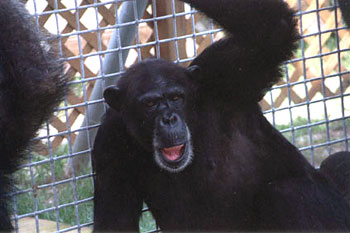 Amy Chimpanzee at Save the Chimps