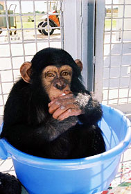 Phoenix Chimpanzee sitting a blue tub