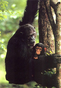 Mother with infant chimpanzee living free