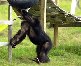 Garfield Chimpanzee plays at Save the Chimps