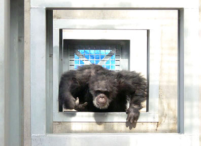 Mack Chimpanzee runs through door at Save the Chimps