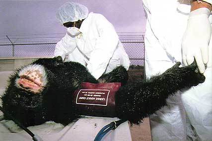 Chimpanzee subjected to procedure