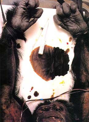 The trauma of HIV/AIDS research, chimpanzee name unknown