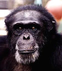 Meet some of the chimpanzees now in sanctuary who were used in HIV/AIDS research—Billy-Jo