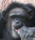 Meet some of the chimpanzees now in sanctuary who were used in HIV/AIDS research—Sue-Ellen